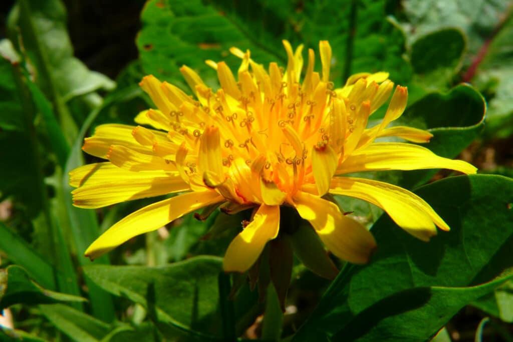 Löwenzahn hat viele gute Eigenschaften, verwendet werden kann die gesamte Pflanze.