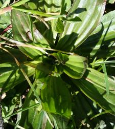 Wildkraut Spitzwegerich