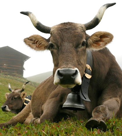 Horn Kuh Milch