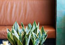 Bogenhanf ist die Zimmerpflanze im Monat August