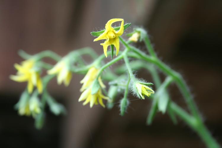 Blüte einer Ceherrytomate