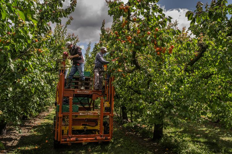 Schweizer Aprikosen werden geerntet