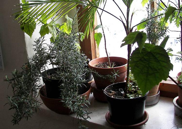 Gewürzkräuter am Fenster überwintern