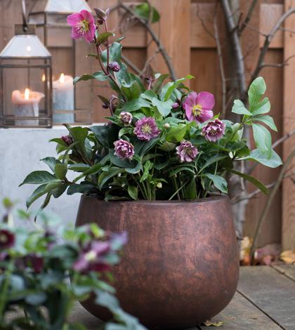 Die Lenzrose ist ein Hingucker im winterlichen Garten