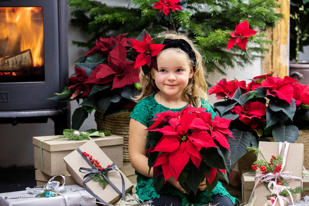 Weihnachtssterne zählen zu den beliebtesten Zimmerpflanzen in der kalten Jahreszeit.