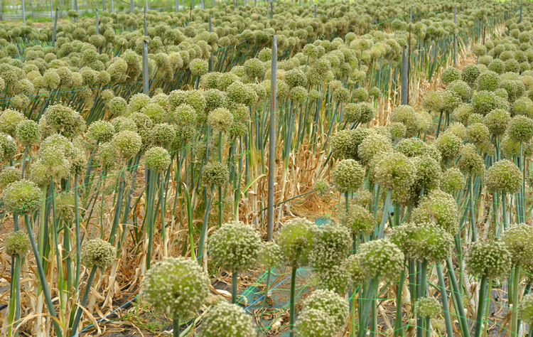 Die Knoblauch-Pflanze