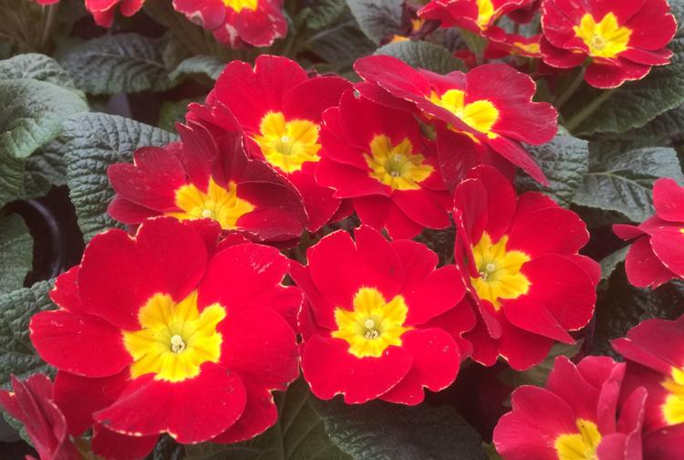 Früehlings-Blumenkasten Frühlingsprimeln