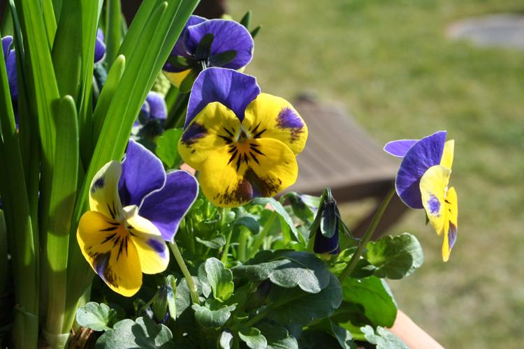 Frühlings-Blumenkasten Hornveilchen