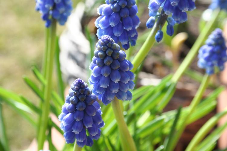 Frühlings-Blumenkasten Hyazinthen