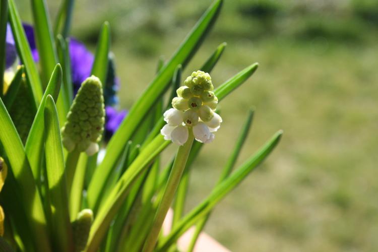 Frühlings-Blumenkasten Traubenhyazinthe