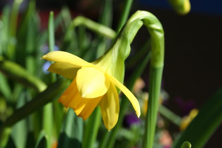 Frühlings-Blumenkasten Narzisse