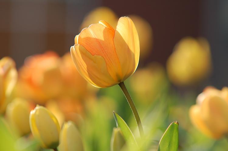 Frühlings-Blumenkasten Tulpen (Tulip)