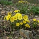 Huflattich kann bereits im Frühling geerntet werden.