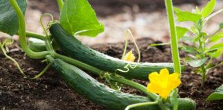 Zwei Gurken im Gemüsegarten mit gelber Bläte