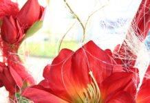 Amaryllis - der Ritterstern macht Vorfreude auf Weihnachten