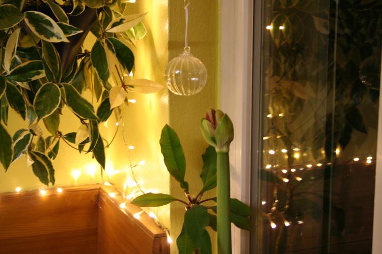 Amaryllis verbreitet Weihnachtsstimmung