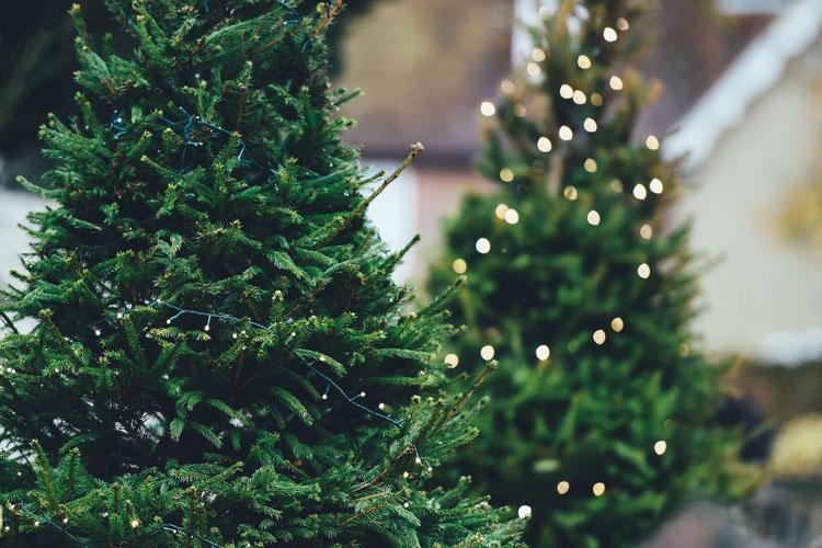 Rottanne als Christbaum