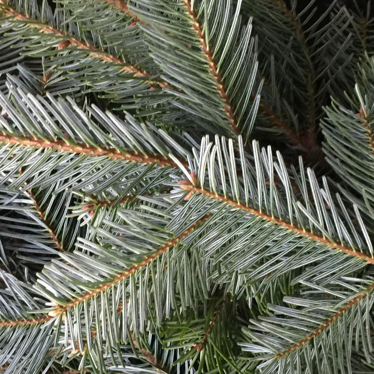 Blautannen-Zweige im Weihnachtsgesteck