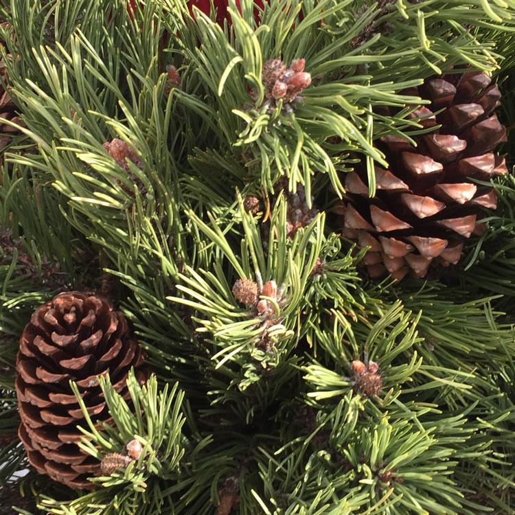Föhren-Zweige im Weihnachtsgesteck