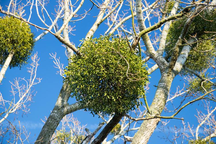 Die Mistel: die Immergrüne ist eine der ganz wenigen Pflanzen, die auch zu dieser Jahreszeit geerntet werden kann.