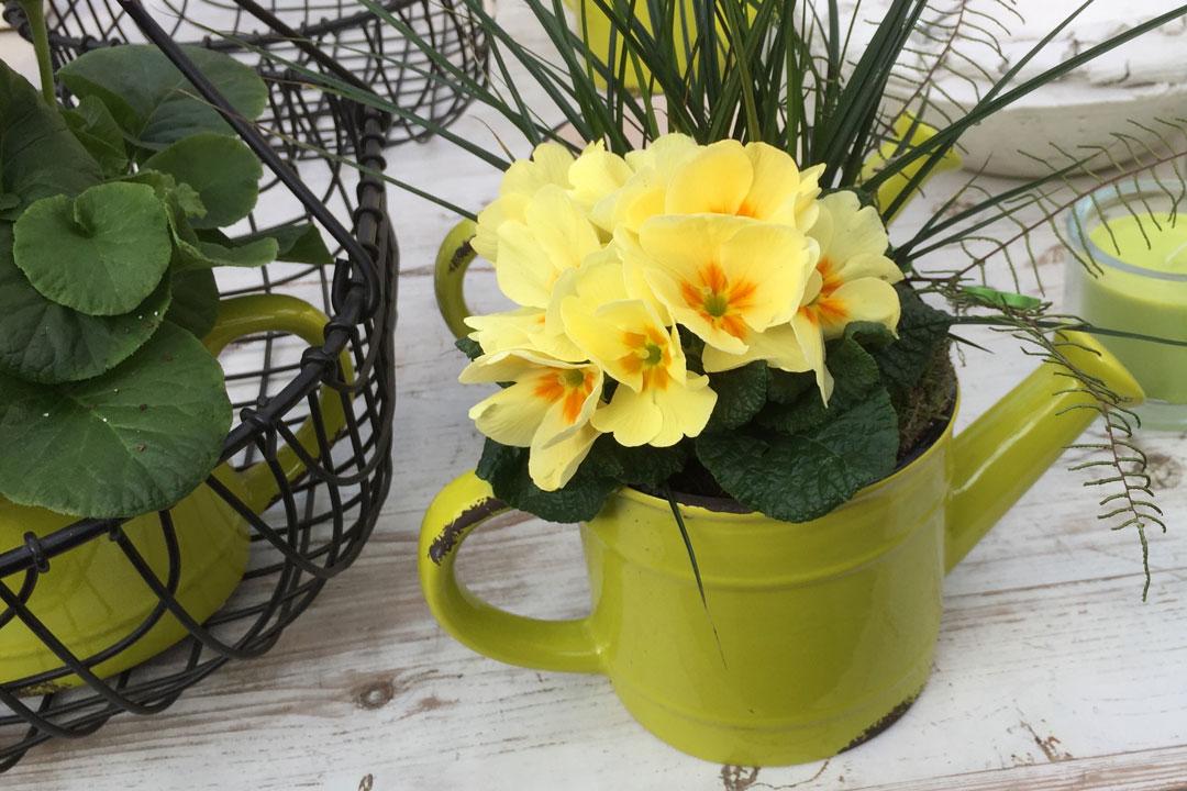 Farbige Zink-Giesskanne mit gelber Primel bepflanzt.