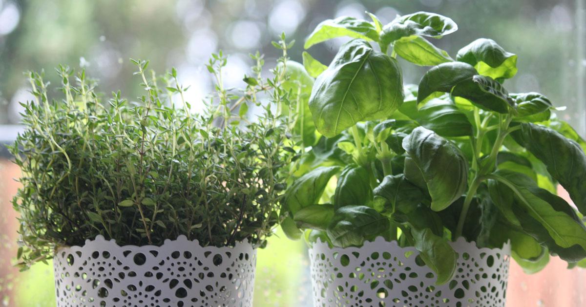 welche kruter vertragen sich duftaroma koriander petersilie fr die kche jpg kruter pflanzen. Black Bedroom Furniture Sets. Home Design Ideas