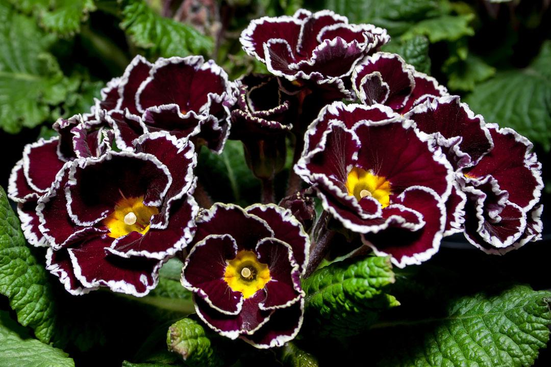 Gefüllte Blüten sehen einer Rose sehr ähnlich.