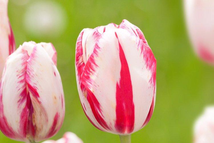 Geschlossene Tulpe in Turbanform