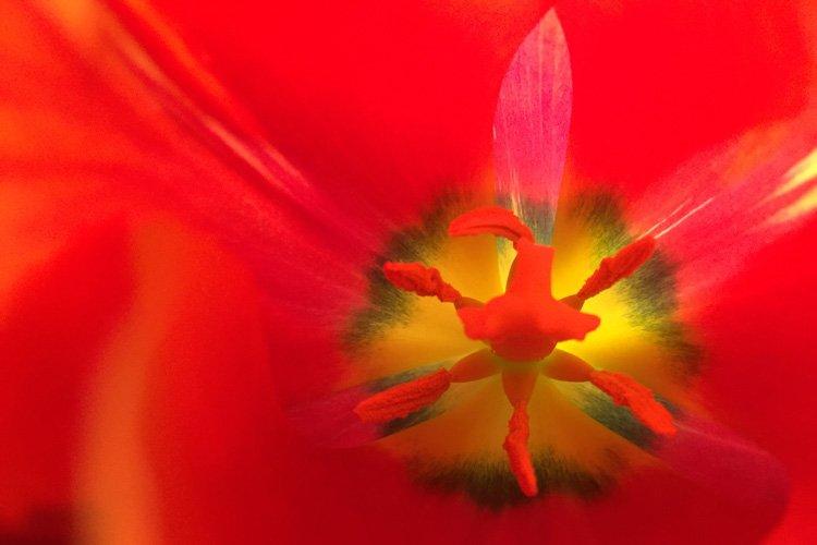 Offene Tulpe