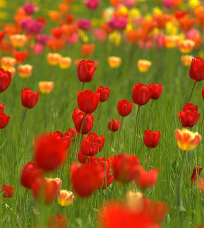 Tulpen sind die Frühlingsvorboten