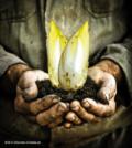 Chicoree - das zartbittere Gemüse