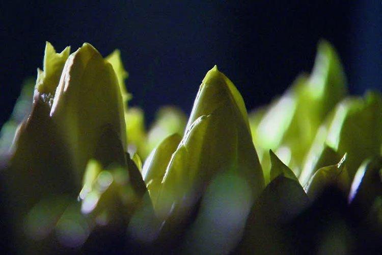 Chicorée ist ein Gemüse mit viel Präbiotika.