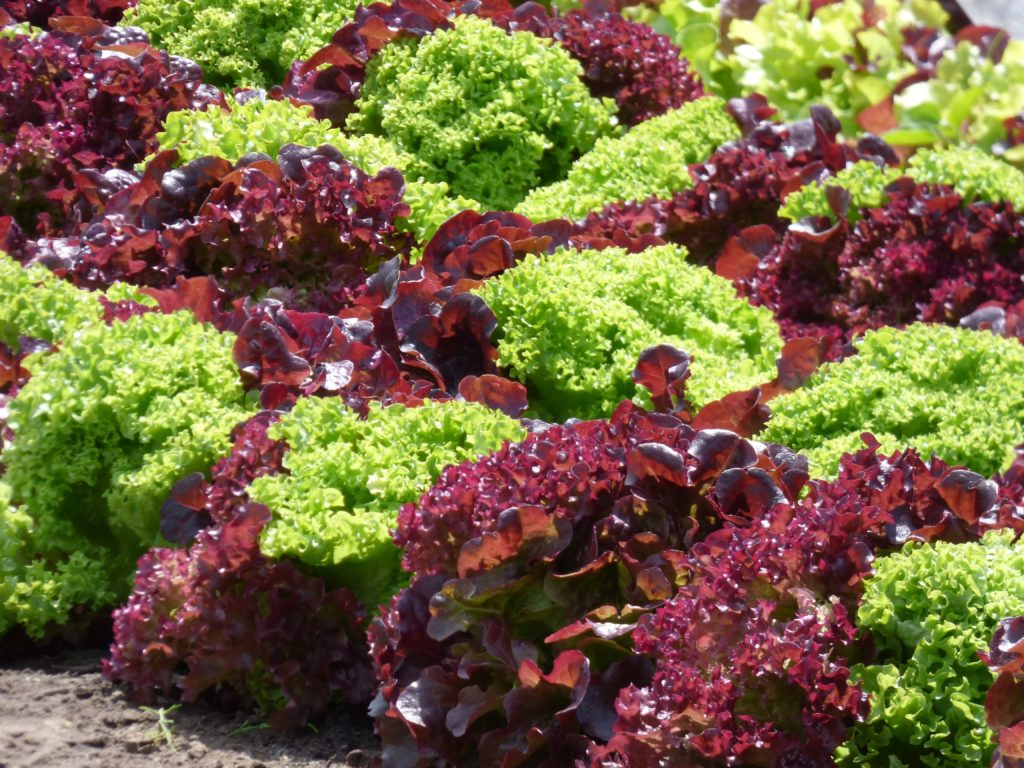 Blattsalate auf dem Feld