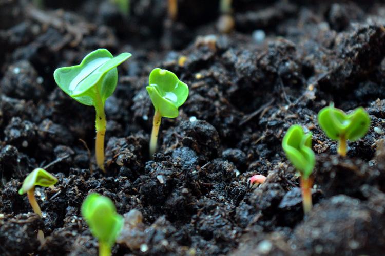 Frisch gekeimte Rucula-Jungpflanzen
