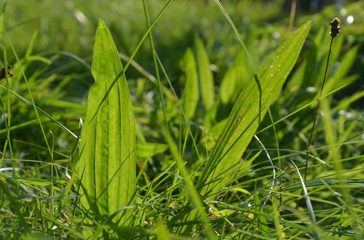 Spitzwegerich-Blätter