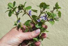 Gundermann – ein Frühlingskraut mit intensivem Geschmack