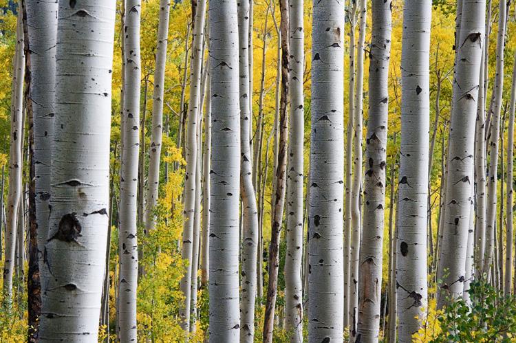 Die Birke gilt als Weltenbaum