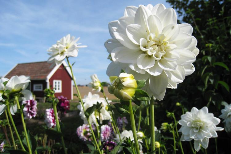 Dahlien begrüssen uns im Garten