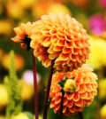Dahlien - Exoten im Garten