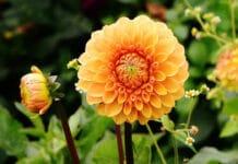 Kaum eine Gartenpflanze kann mit einer solchen Vielfalt an Formen und Farben aufwarten wie die Dahlien.