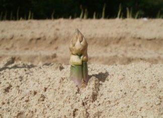 Spargel- das beliebteste Gemüse überhaupt