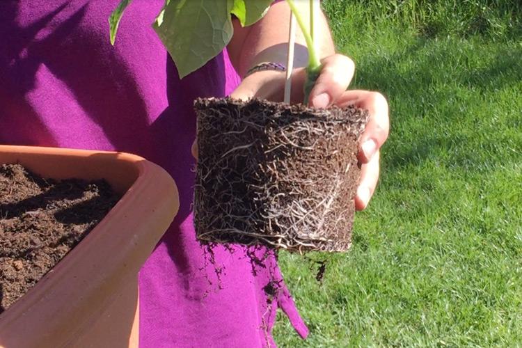 Wurzelbildung einer Gurkenpflanze