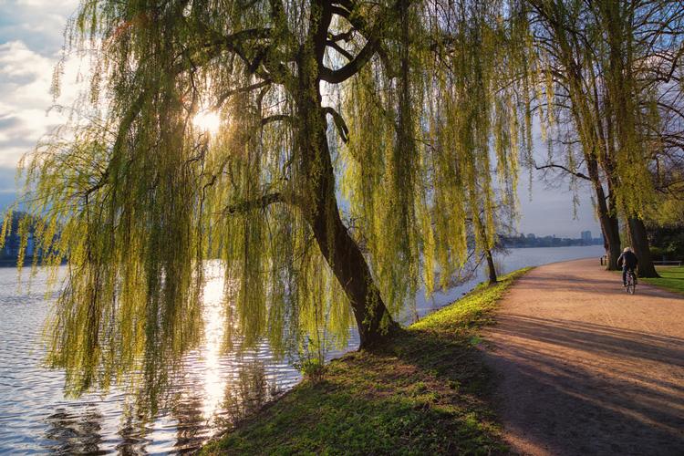 Geschichte und Mythologie der Weide