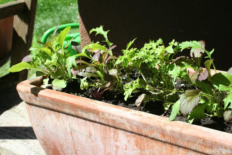Asia-Salate auf dem Pflanzenregal