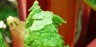 Rhabarber - das fruchtige Gemüse hat jetzt Saison