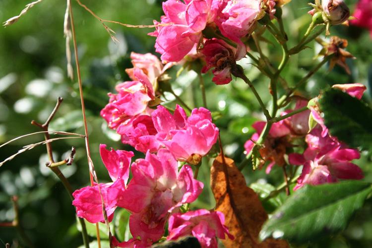 Rampling Rose