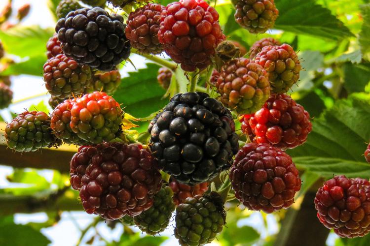 Beeren aus dem Garten
