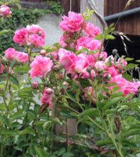 Rose - die Königin der Blumen