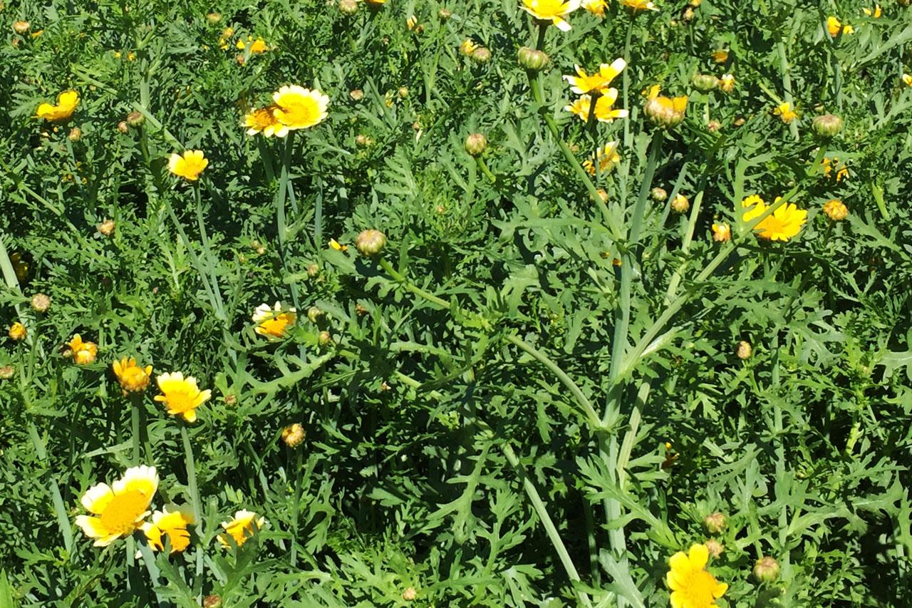 Speisechrysantheme in der freien Natur