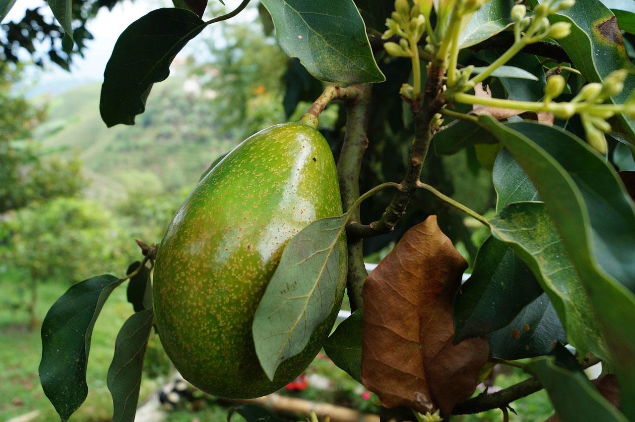 Avocado zur Entgiftung